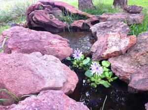 Water hyacinth in my waterfall