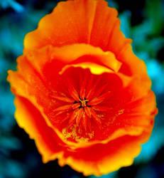 Poppy II by fox-photography