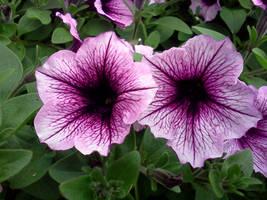 purple petunias1 by kingbob24