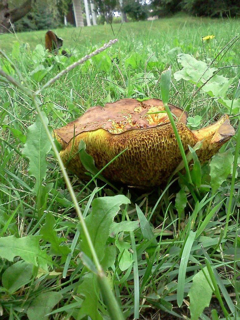wild mushroom1 by kingbob24