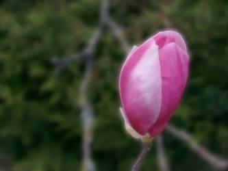 A Tulip by carlfoxmarten