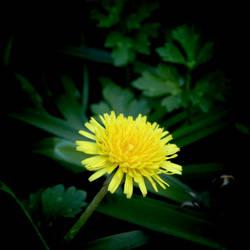 Dandelion by carlfoxmarten