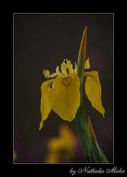 Iris by dieZera