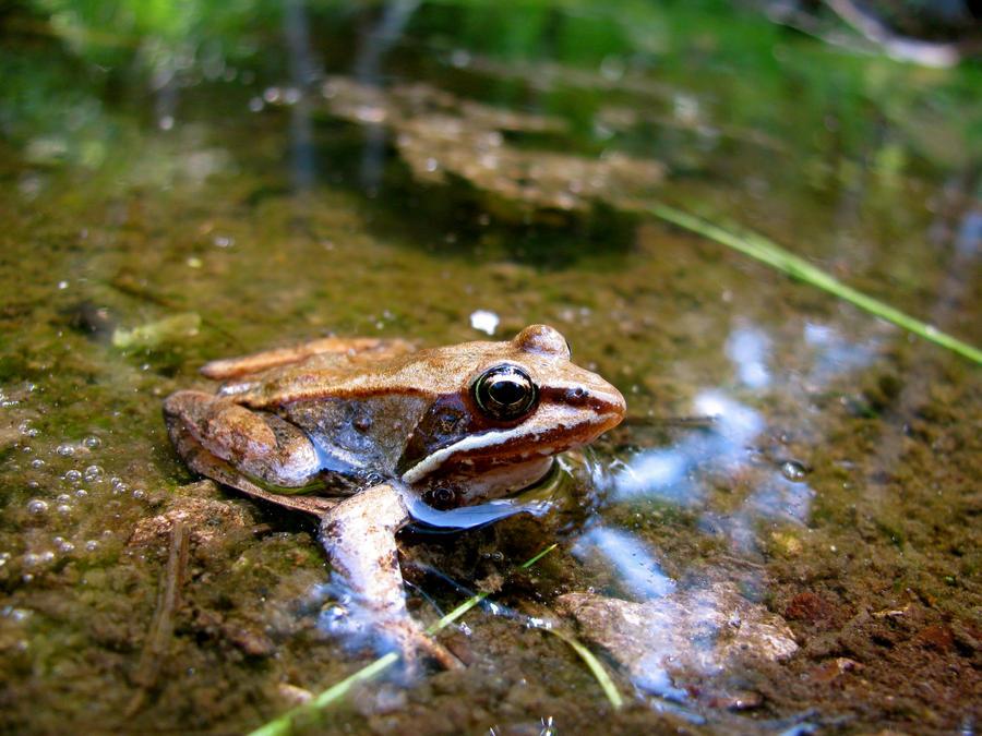 La grenouille des bois Grenouille_des_bois_by_snyki-d3kzyz6