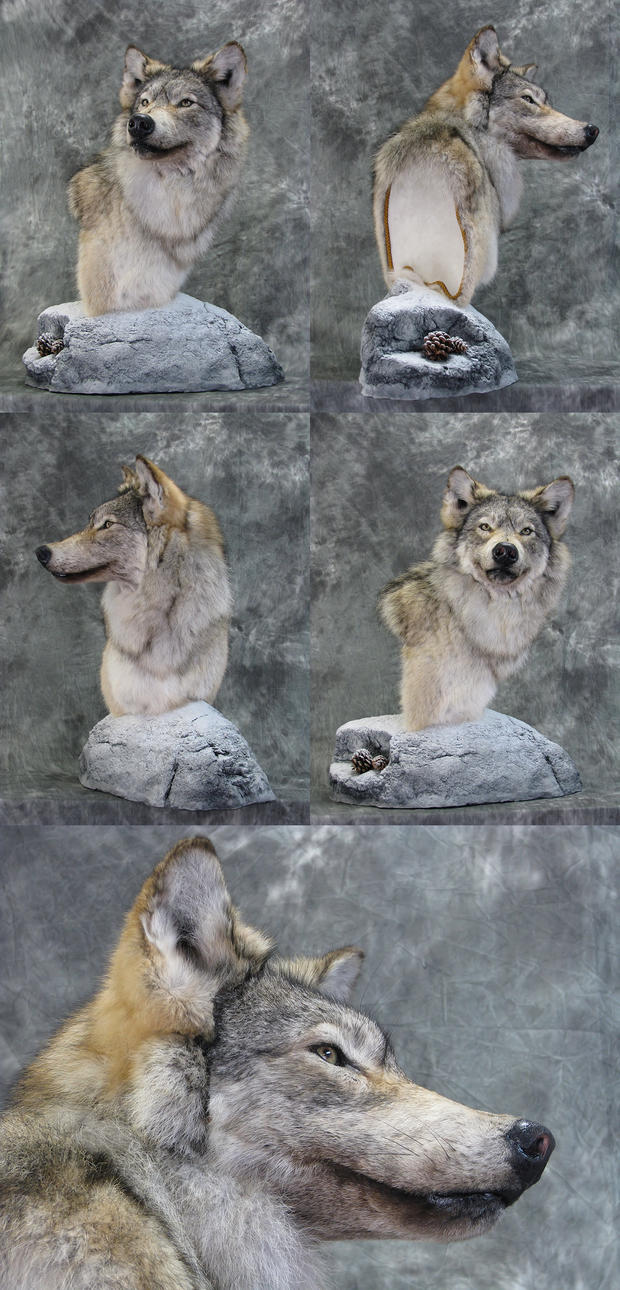 Wolf 3 - Winter Wolf by DiamondDustTaxidermy