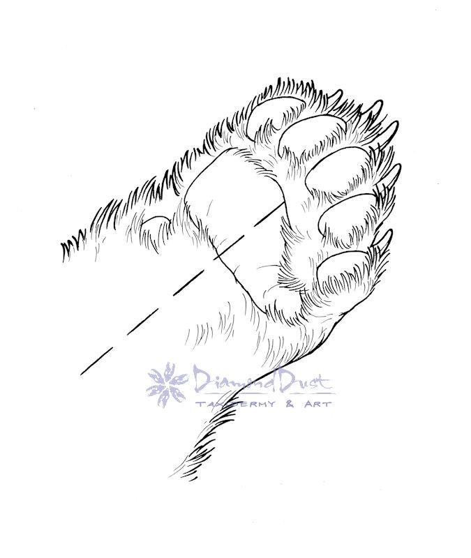 Bear paw anatomy