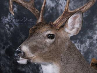 Bent Horn Buck face detail by DiamondDustTaxidermy