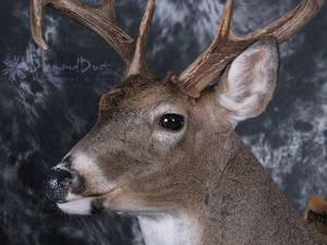 Bent Horn Buck face detail