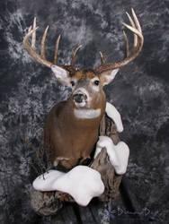 Allan's Buck by DiamondDustTaxidermy