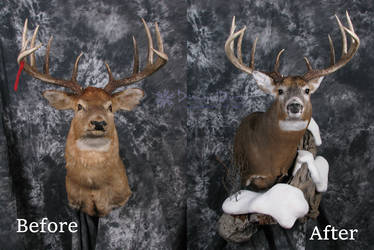 Allan's Buck Before and After by DiamondDustTaxidermy