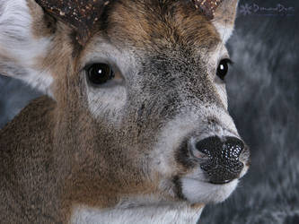 Allan's Buck Close Up by DiamondDustTaxidermy