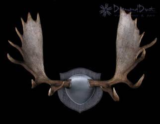 Alaskan Moose Antler Mount in Grey by DiamondDustTaxidermy