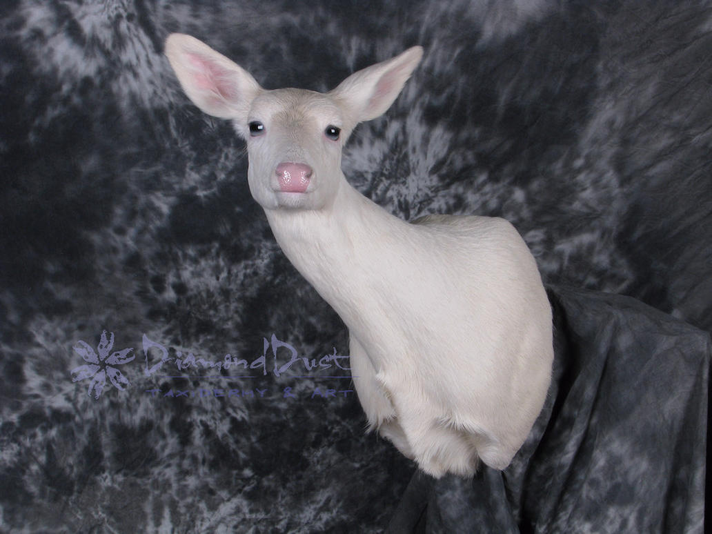 Albino Whitetail Doe Front View by DiamondDustTaxidermy