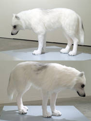 White Wolf new photos by DiamondDustTaxidermy