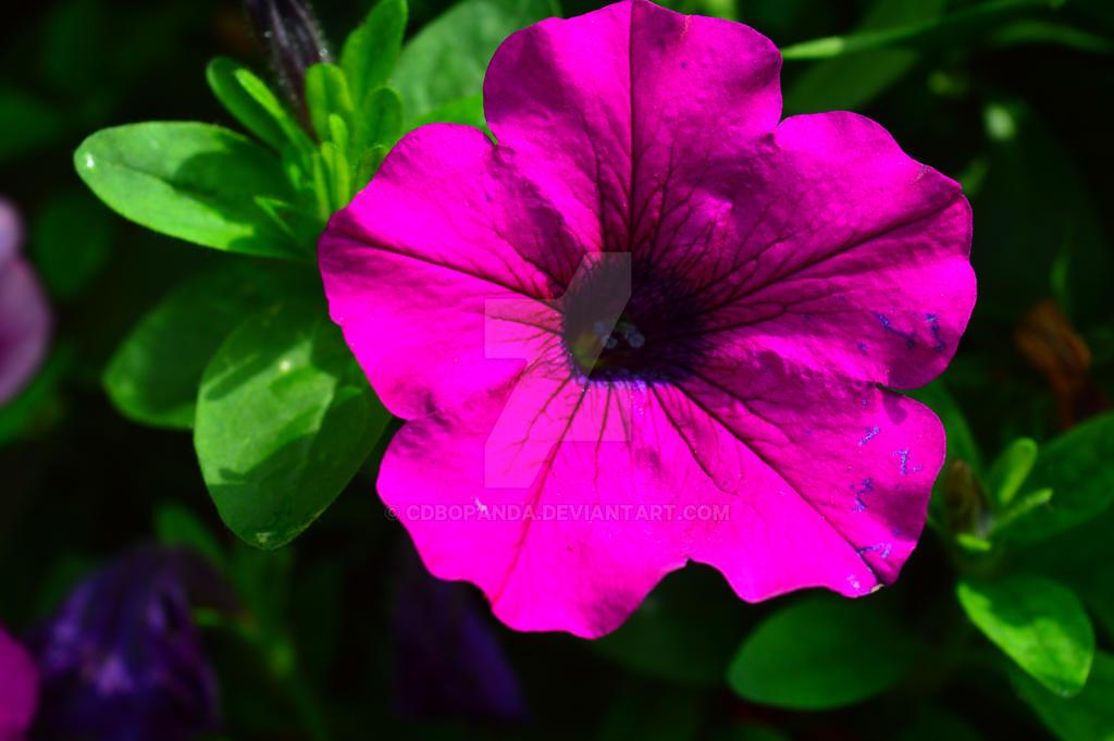 purple joy by CDBOPANDA