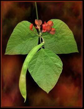 Scarlet Runner Bean