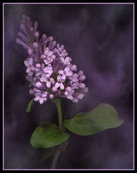 Lilac by DominoNoel