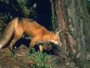 Rofoxs's Profile Picture