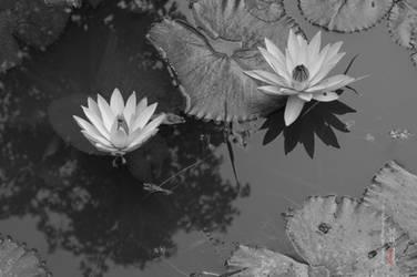 Lilies... by aakoran