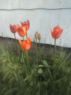 Tulips by mrsKitteh