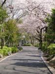 Ueno Blossoms by mackymole