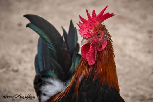 Plantation Chicken