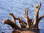 Strange Dead Tree In Water