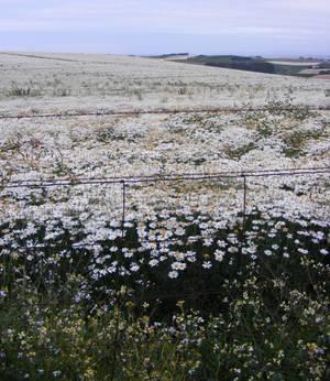 Field Of White Daisies 1