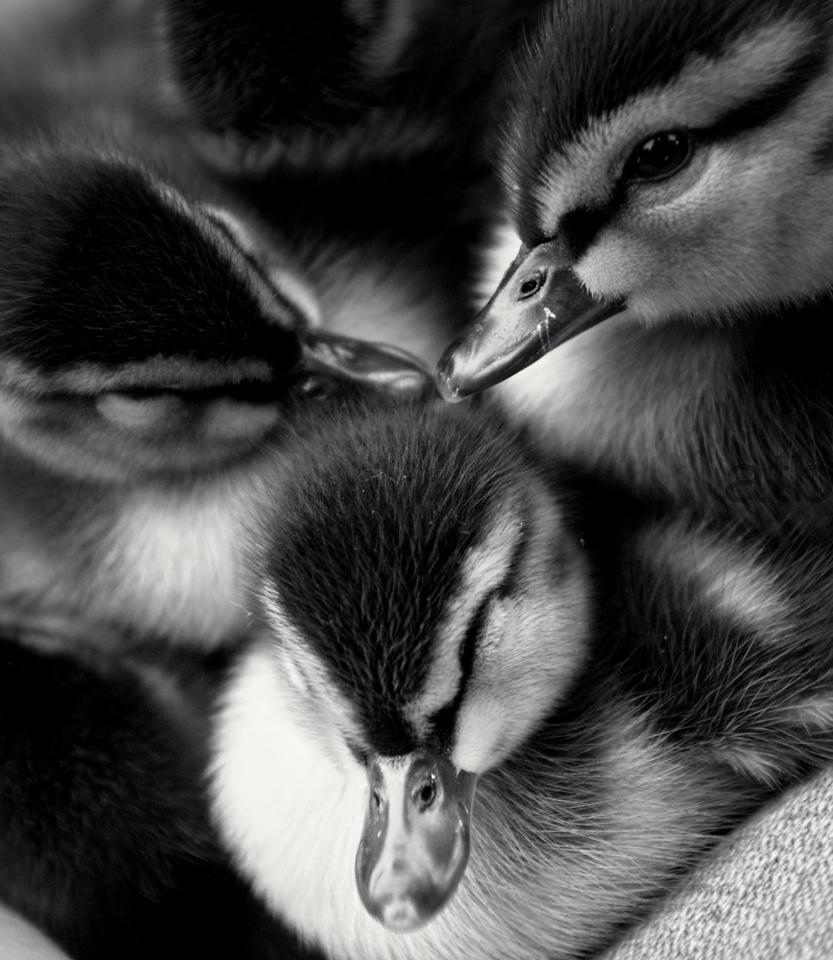 Sleepy Ducky by AliceTheBob