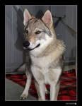 czechoslovakian wolfdog II