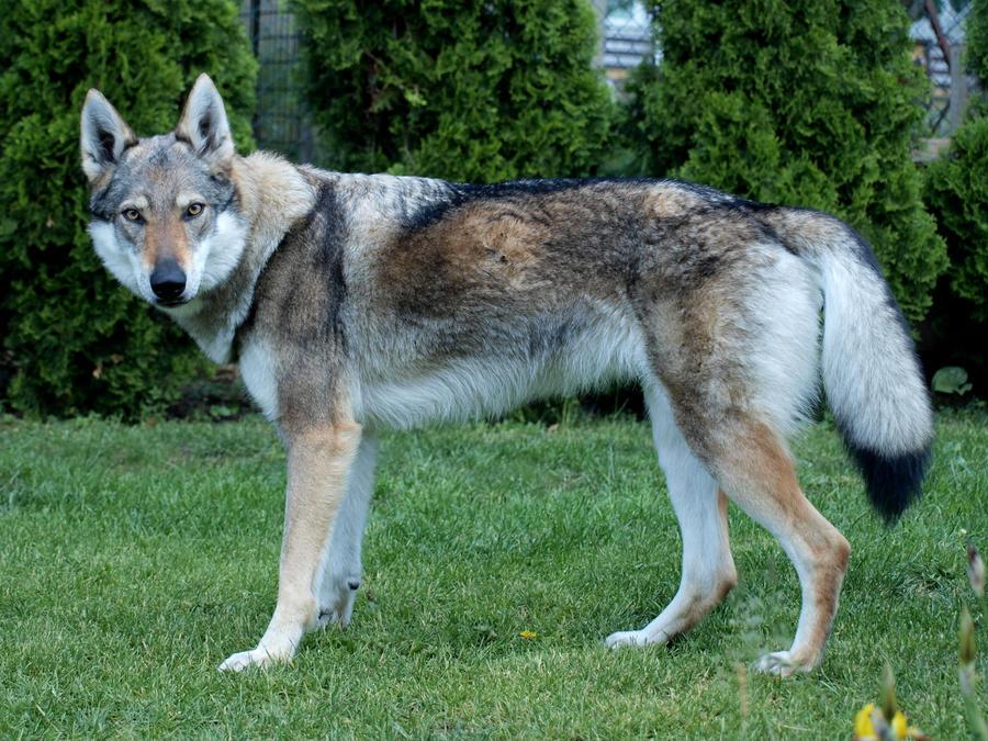Czechoslovakian Wolfdog Association of Dogzer - members