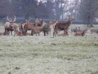 Deers by Osamabinlady