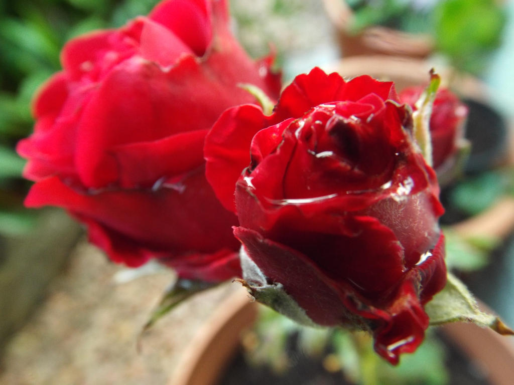 Red Rose and Water Drops 2 by Moka898