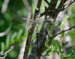 Resting dragonfly 1 by themanitou