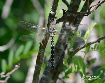 Resting dragonfly 1