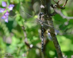 Resting dragonfly 2
