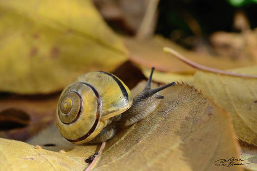 Banded Forest Snail on Fall Leaves 1