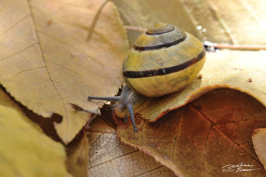 Banded Forest Snail on Fall Leaves 2