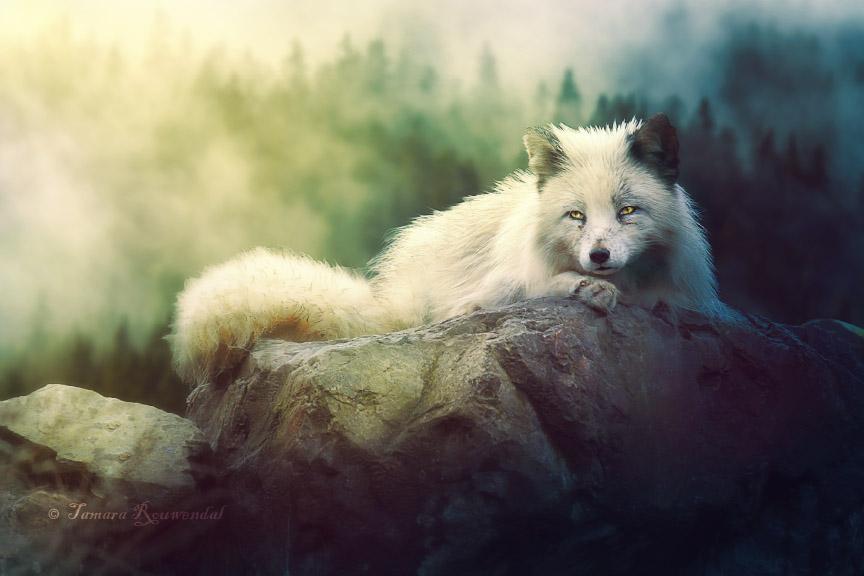 Arctic Fox by tamaraR
