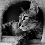 Argy cat