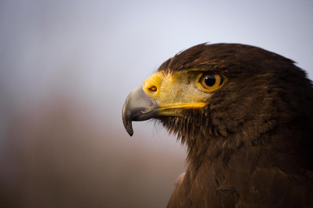Harris Hawk Face Closeup By ReanDeanna On DeviantART