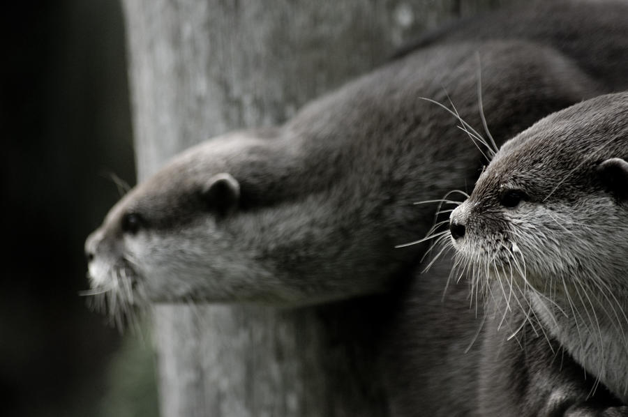 Otter Wallpaper by hellfire321