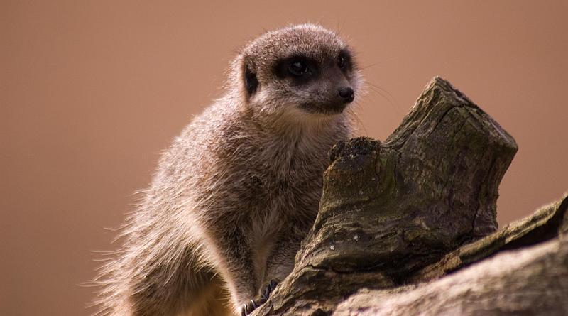 Curious Meerkat by hellfire321