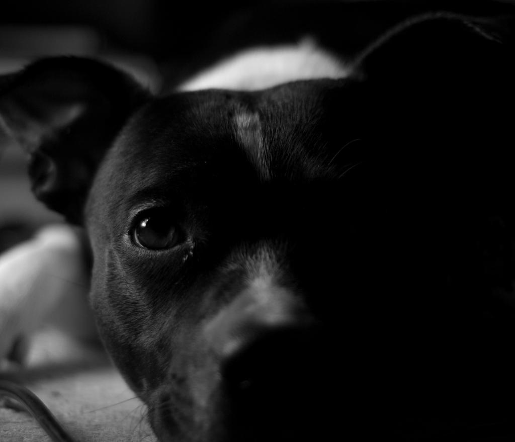 Staffordshire Bull Terrier by hellfire321