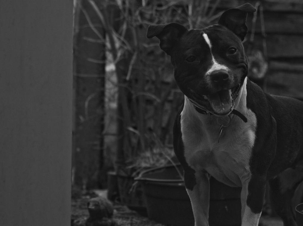 Bull Terrier Smile by hellfire321