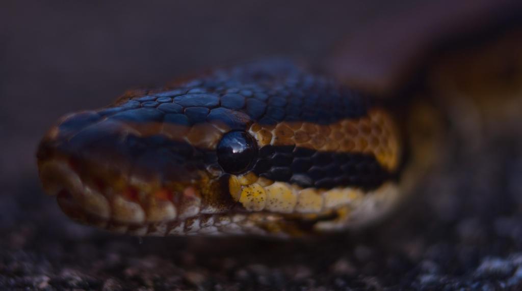Royal Python by hellfire321
