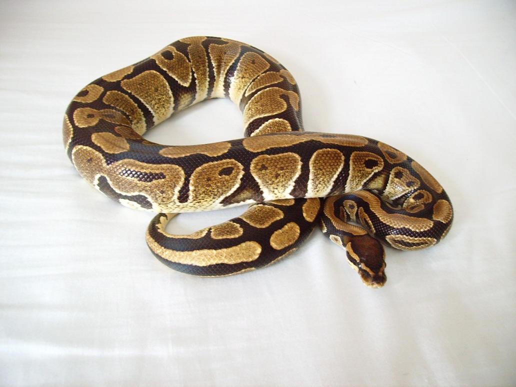 Python regius by hellfire321