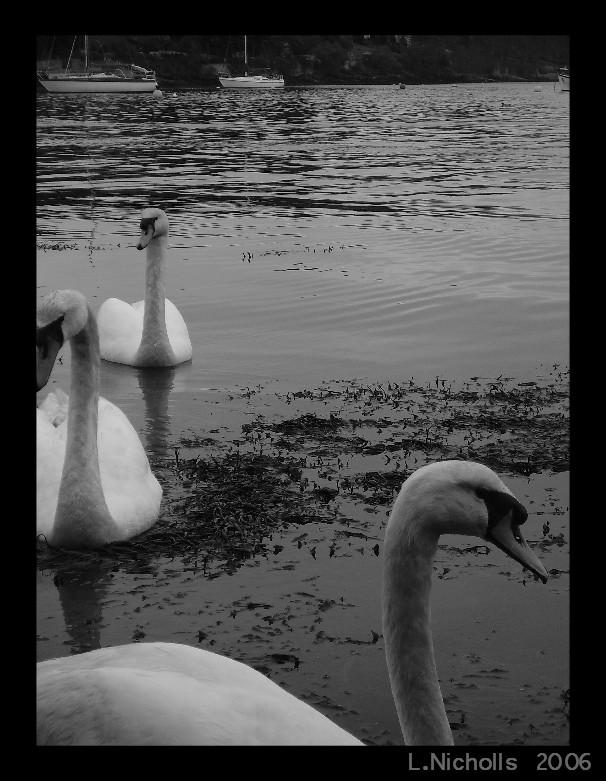 Swans by hellfire321