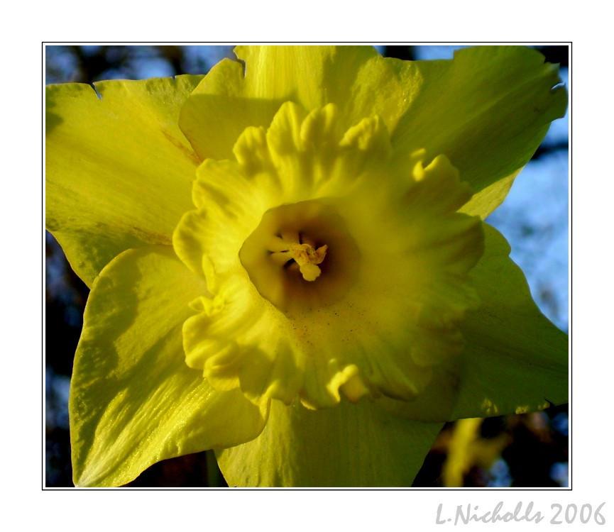 Daffodil. by hellfire321