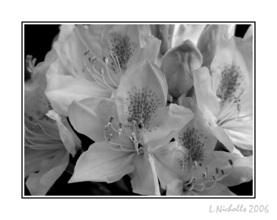 White Softness by hellfire321